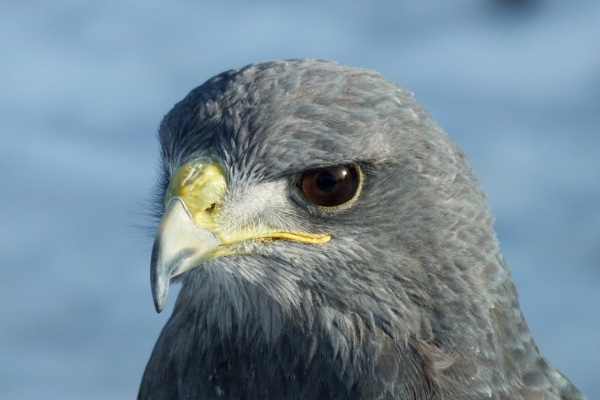 Guillermo the Chilean Blue Eagle by nmt4