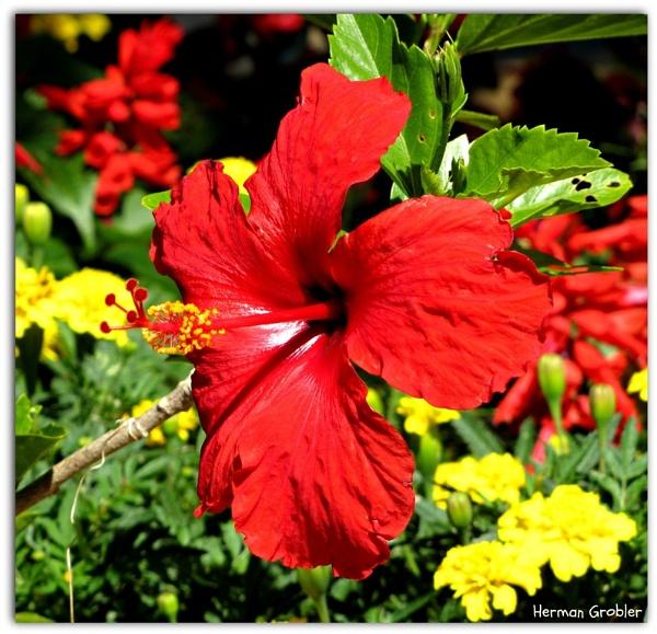 Red Hibiscus by Hermanus