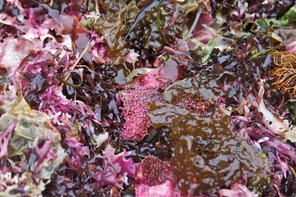 Blanket of Seaweed by Hercules