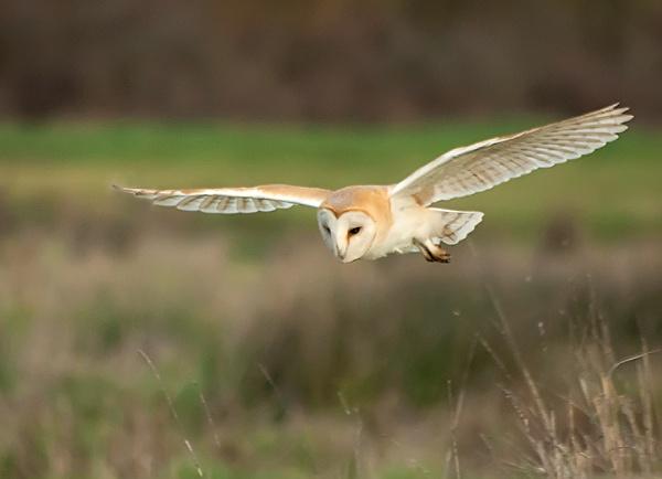 Barn Owl by stepr17
