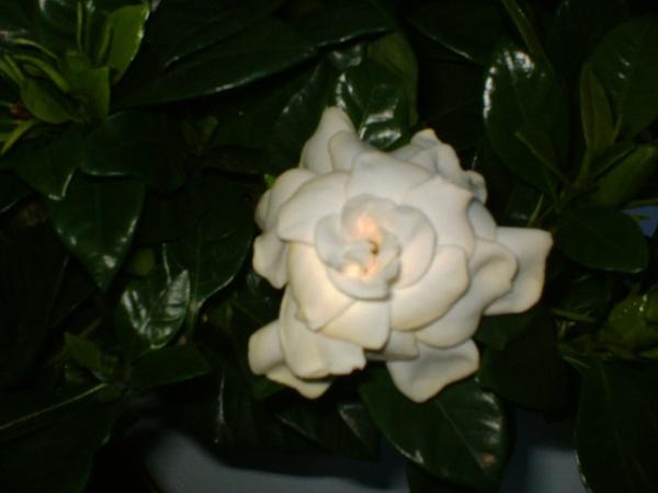 Gardenia by tamarisk