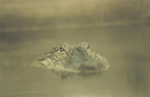 Aligator by Shotover