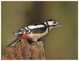 Great Spotted Woodpecker.....Female