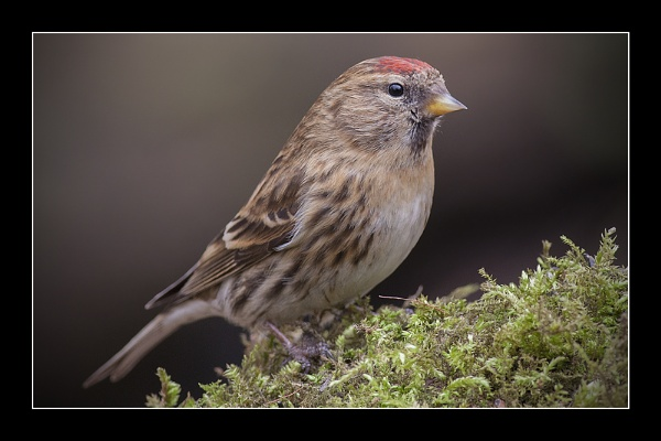 Redpoll (Male) by Kevlar