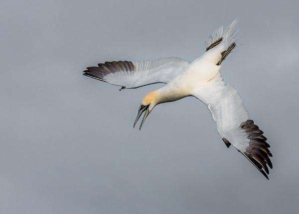 gannet by ireid7
