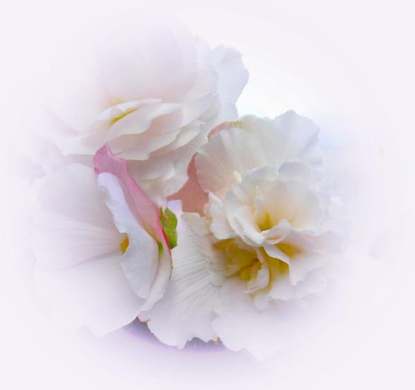 Beautiful Begonias by zazzycat