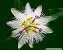 """Passiflora """"Constance Elliott"""""""