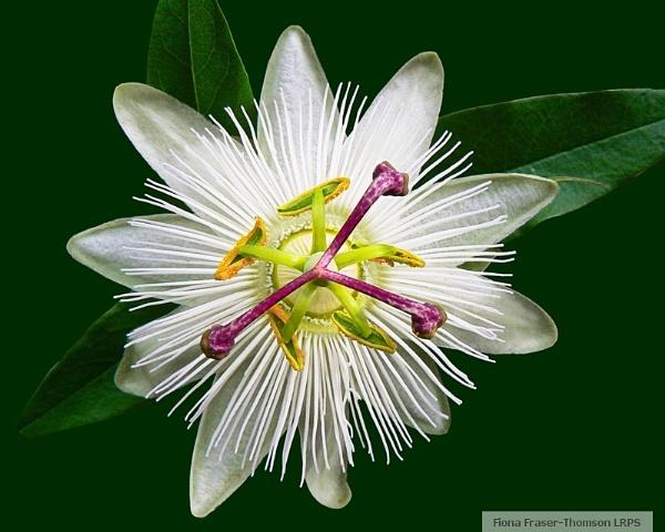 """Passiflora \""""Constance Elliott\"""" by zazzycat"""