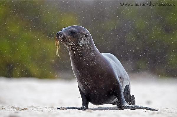 A Seal in the rain by Austin_Thomas