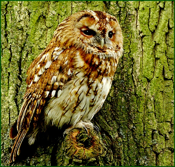 Tawny Owl - Strix aluco 06.. by Badgerfred