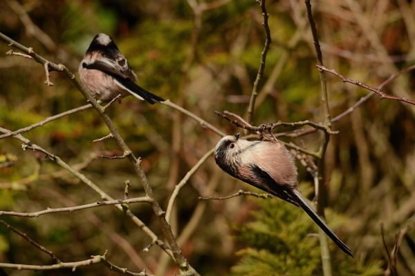 Long – Tailed Tits Family Life by jgmford