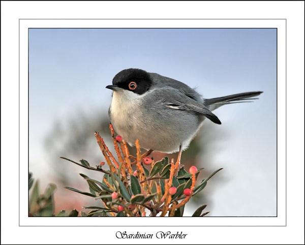 Sardinian Warbler by FeatherFriend