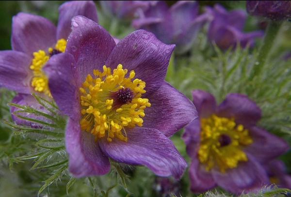 Pasque Flower by crookymonsta