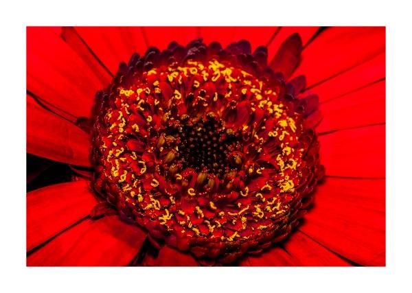 Red Gerbera by Jat_Riski