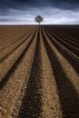 Potato Field and Tree