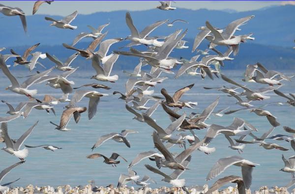 Gulls in Flight by qwertshadow