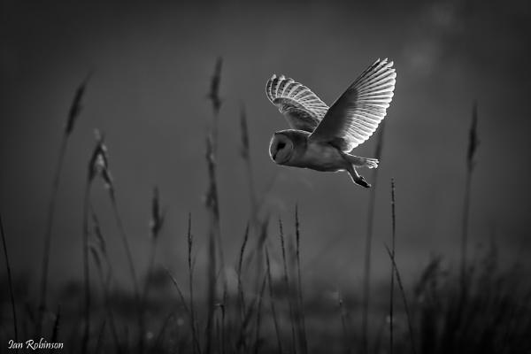 Tyto Alba by ianrobinson