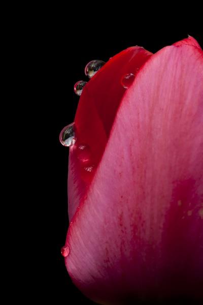 Tulip by llareggub