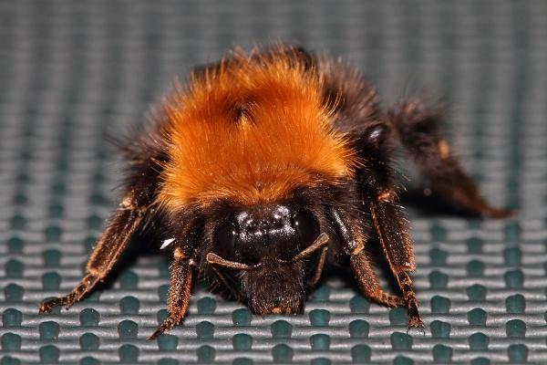 Bumble Bee (Bombus Hortorum) by Metro6R4