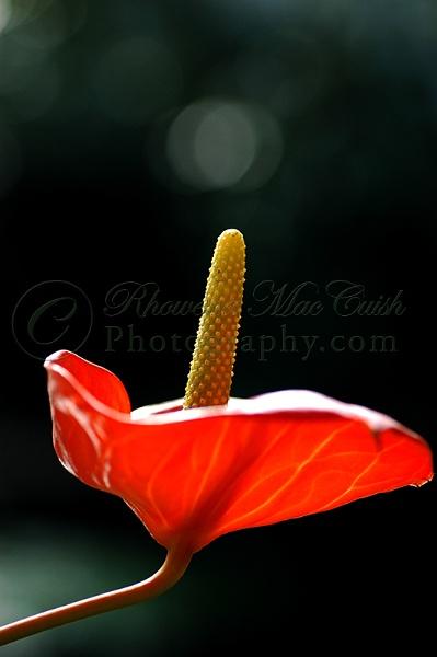 Anthurium Single Flower by rhowbust