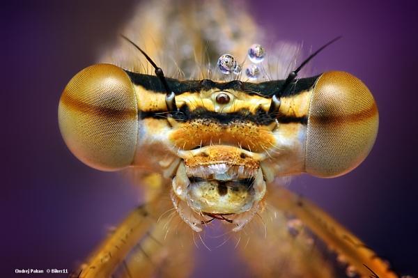 Dragonfly by biker11