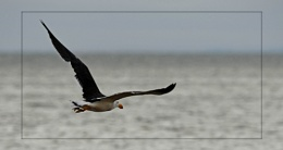 A Large Seagull Flying (2)