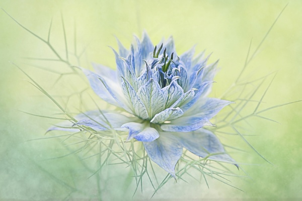 Love-in-a-mist by jackyp
