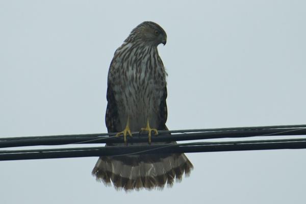 Cooper\'s Hawk looking at my bird feeder. by Malcspaige