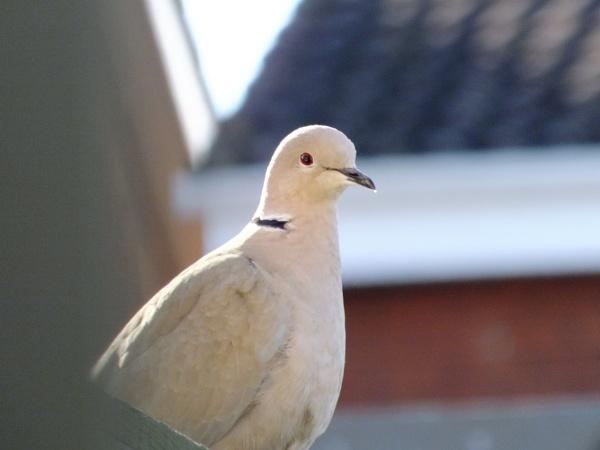 Dove by Derek_Fearn