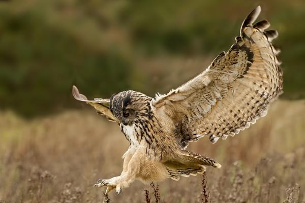 Eagle Owl by Fotofunguy