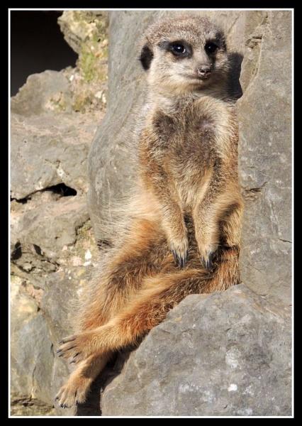 Elegant meerkat by kathrynlouise