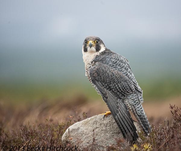 Peregrine falcon by Daxiesmum