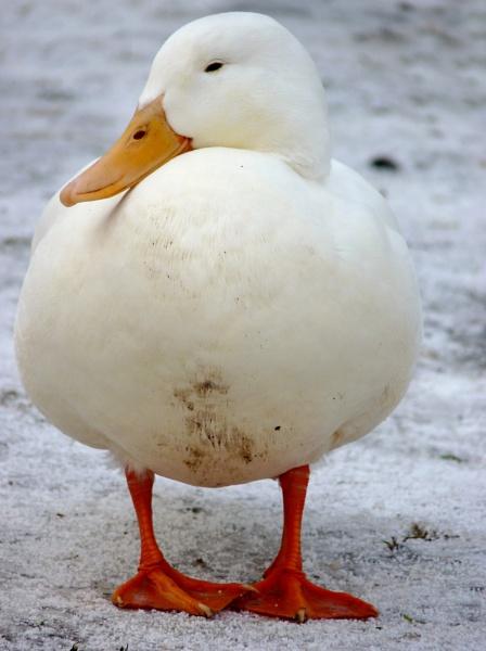 White Waddler Keeping Warm in Winter by fandangofandingo
