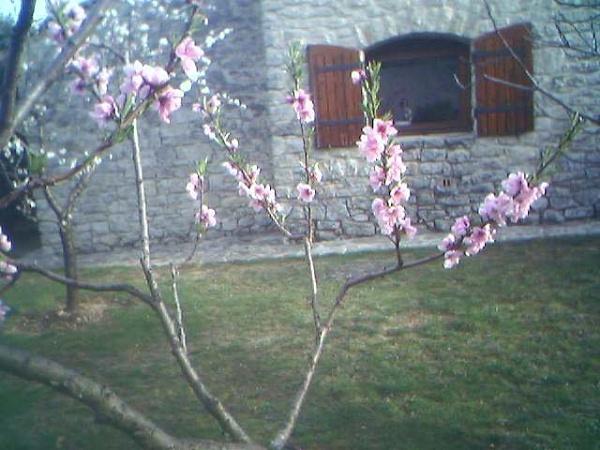 Peach Tree Flowers in PROVENCE in Spring by SabineFaureSAMlle
