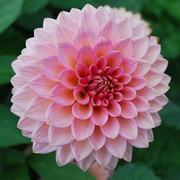 A Pink Dahlia by janlea