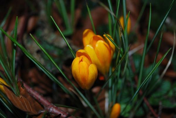 Spring Crocus by janlea