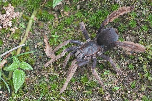 Tarantula by orionmystery