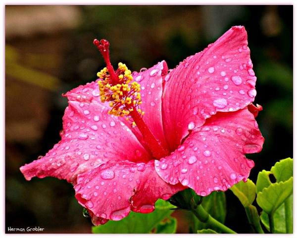 Wet Hibiscus by Hermanus