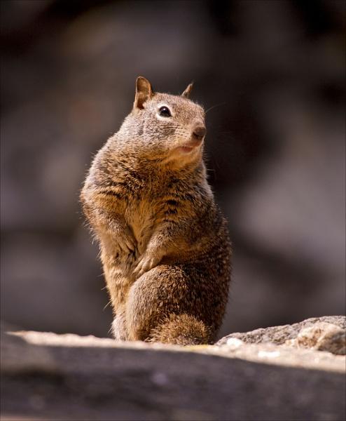 Ground Squirrel Yosemite by maggietear