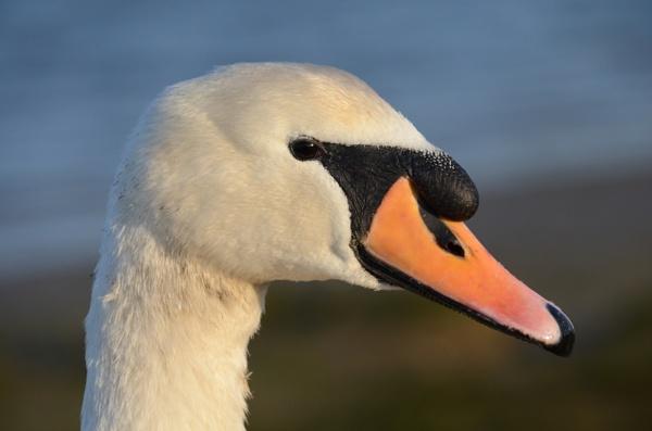 Mute Swan by Metalkoi