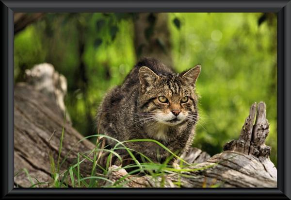Wildcat by uzi35mm