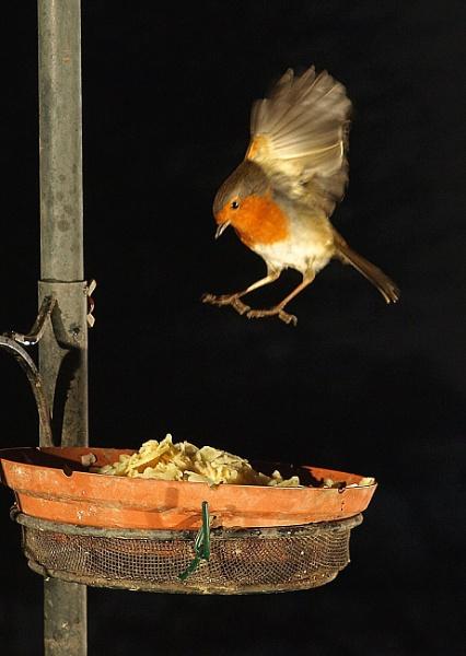Robin landing by turniptowers