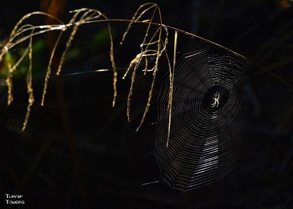 Autumn spider by turniptowers
