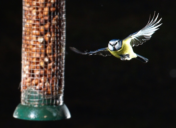 Blue tit by turniptowers
