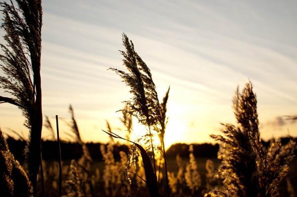 Reeds in the evening sun at Thornham, North Norfolk by Putnam