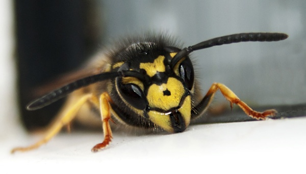 Close up wasp by pp1