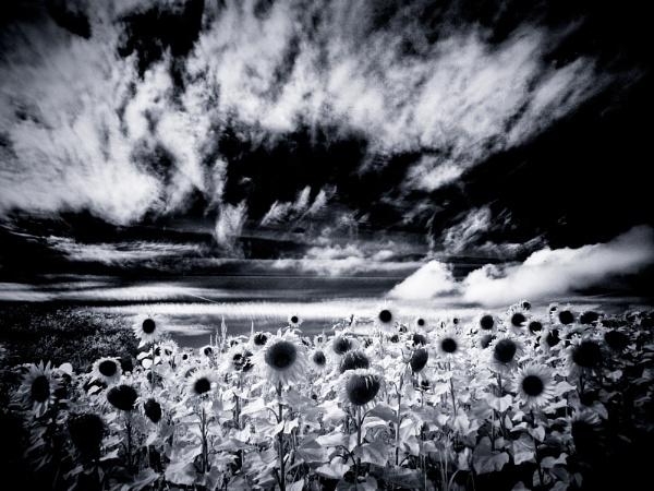 Sunflowers by stevewlb