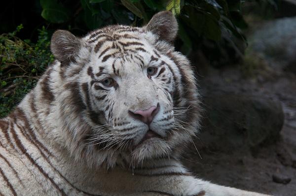 White Tiger by robertjhook