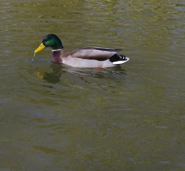 Lonely duck. by crobncarol