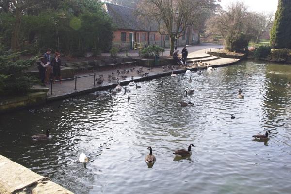 The ducks at Markeaton Park by crobncarol